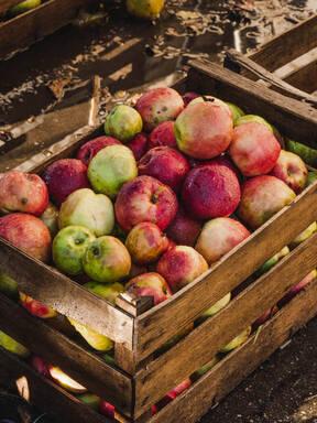 从农场到果汁瓶:勃兰登堡的苹果农场之旅