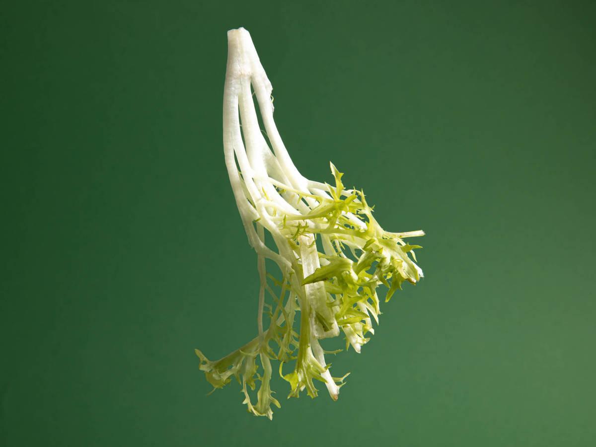 关于碎叶菊苣,你应该知道的几件事