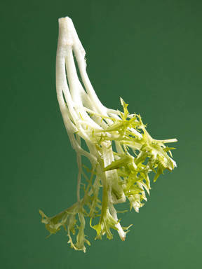 Everything to Know About Cooking and Shopping for In Season Frisée Lettuce